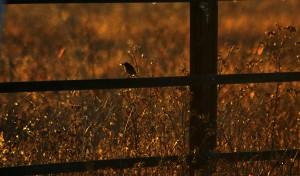 Tarabilla en la puesta de sol