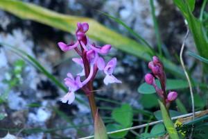 Orquídea Sierra de Estepa