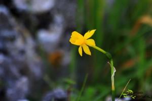 Narcisus baeticus