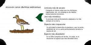 Alcaraván dibujo