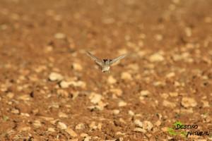 Terrera común vuelo