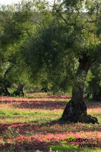 Olivo biodiversidad
