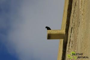 Estornino en el Torreón