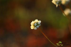 Armeria arenaria subsp. segoviensis