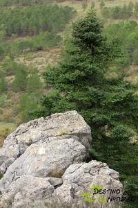 Pinsapo y rocas