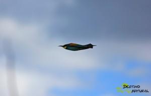 Abejaruco en vuelo