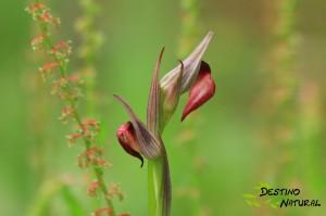 Orquídea Doñana