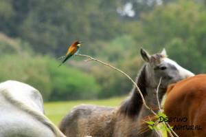 Abejaruco y ganadería