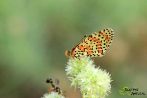 Melitaea ssp.