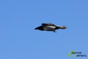 Cuervo (2)