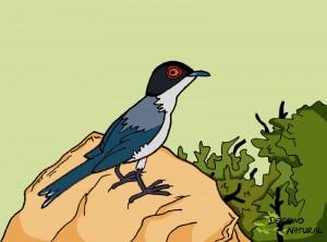 Curruca cabecinegra dibujo aves