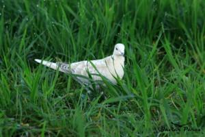 Tórtola turca blanca