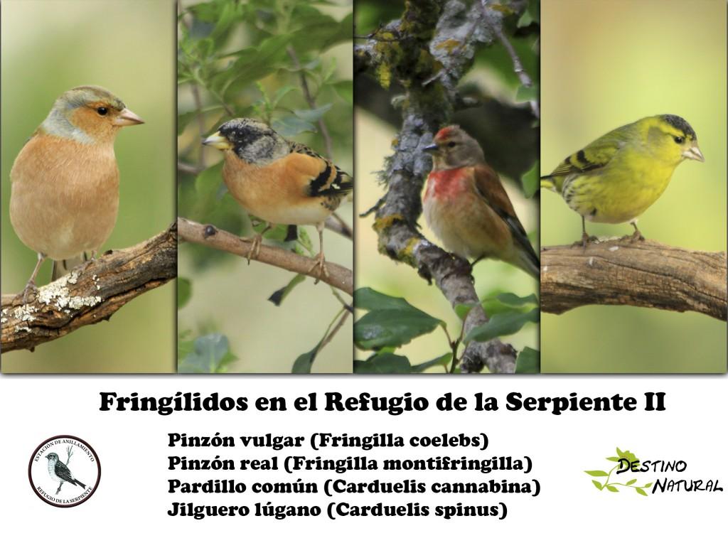 Fringílidos del refugio II