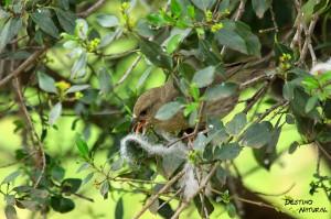Piquituerto nido