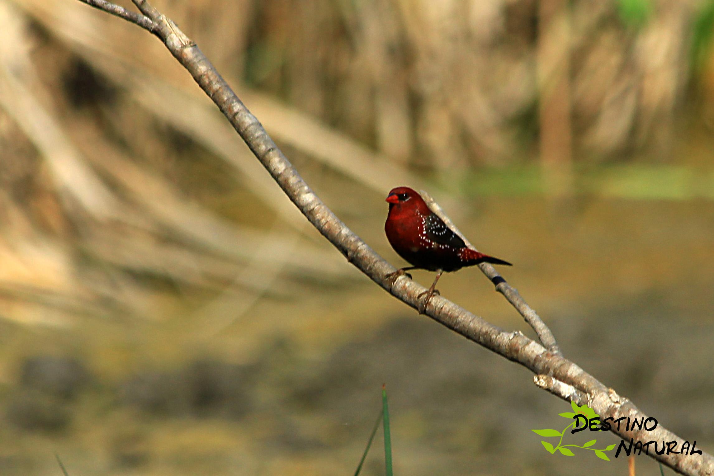 Bengalí rojo