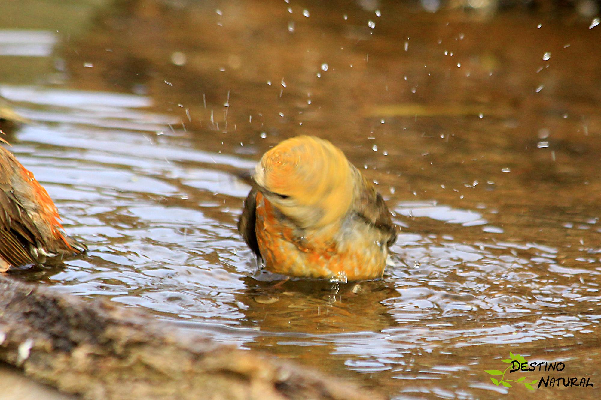 Piquituerto macho baño