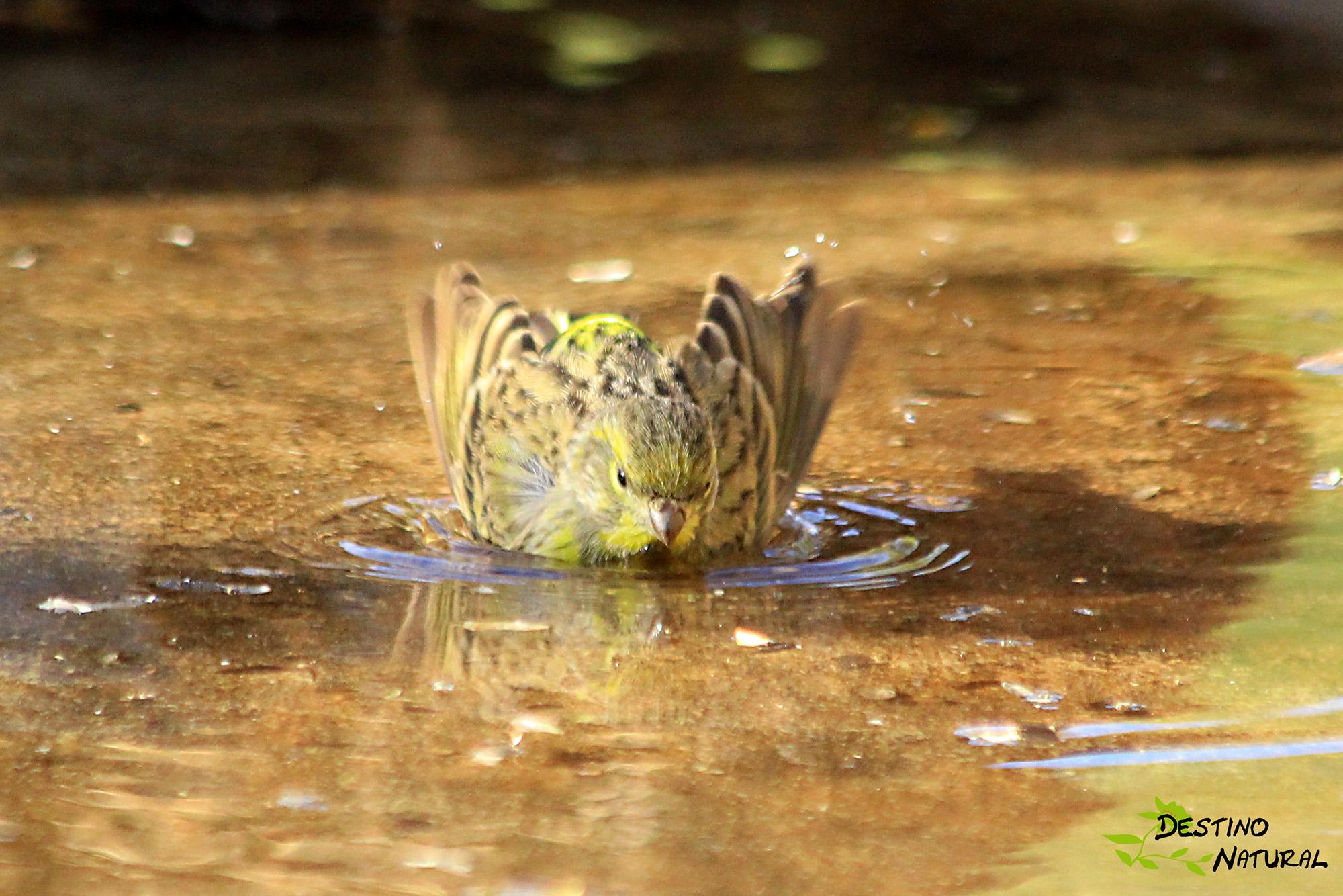 Verdecillo bañándose