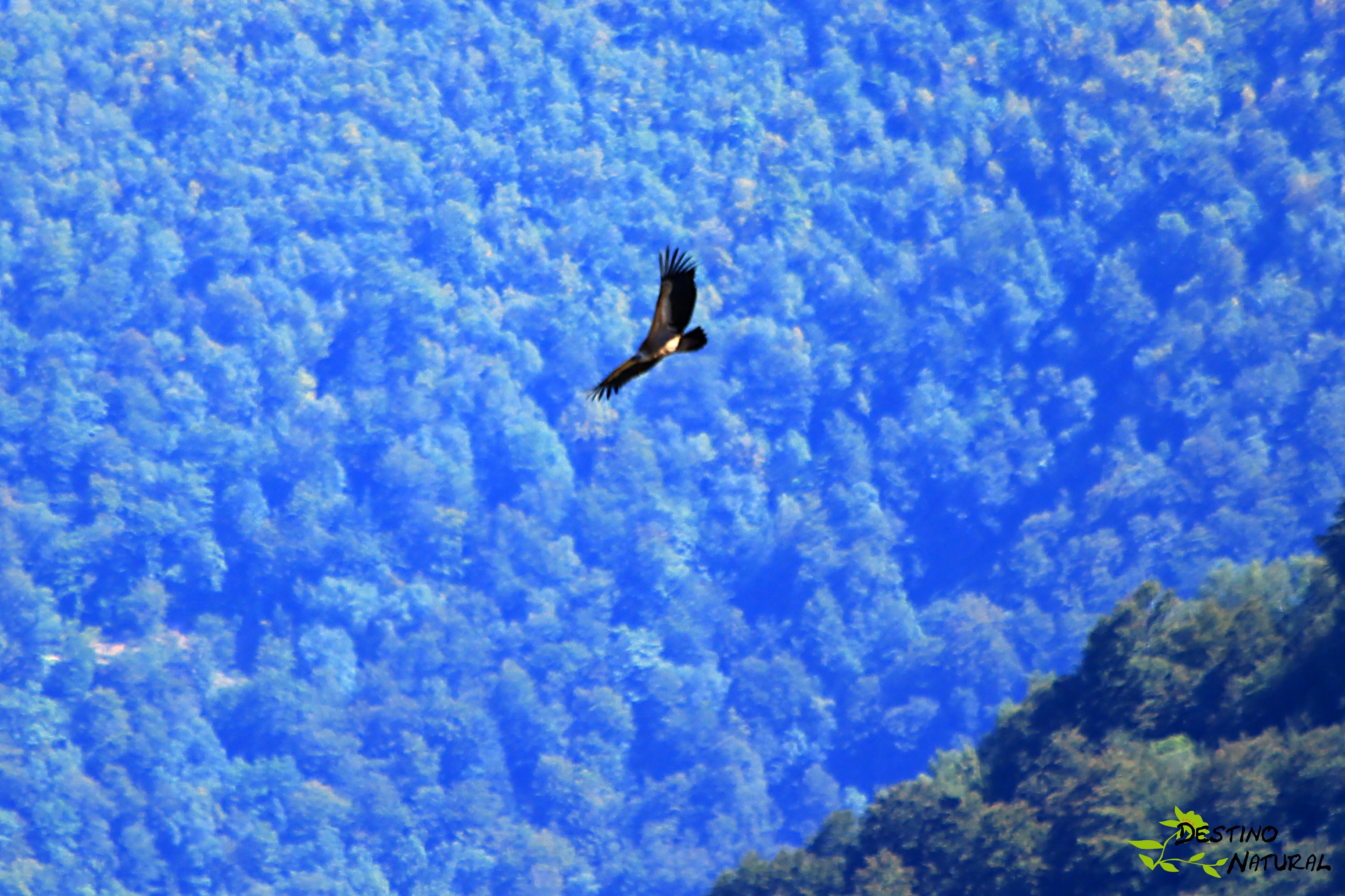 Buitre volando sobre Picos de Europa