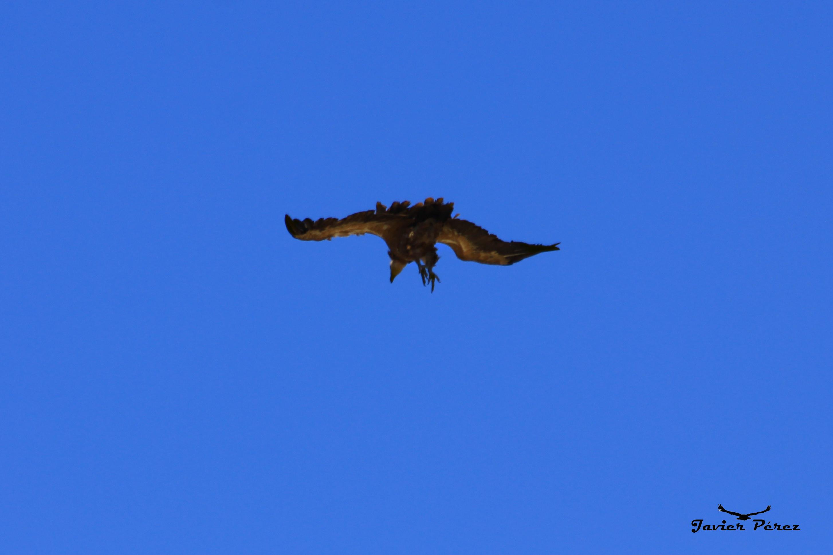 Buitre leonado aterrizando