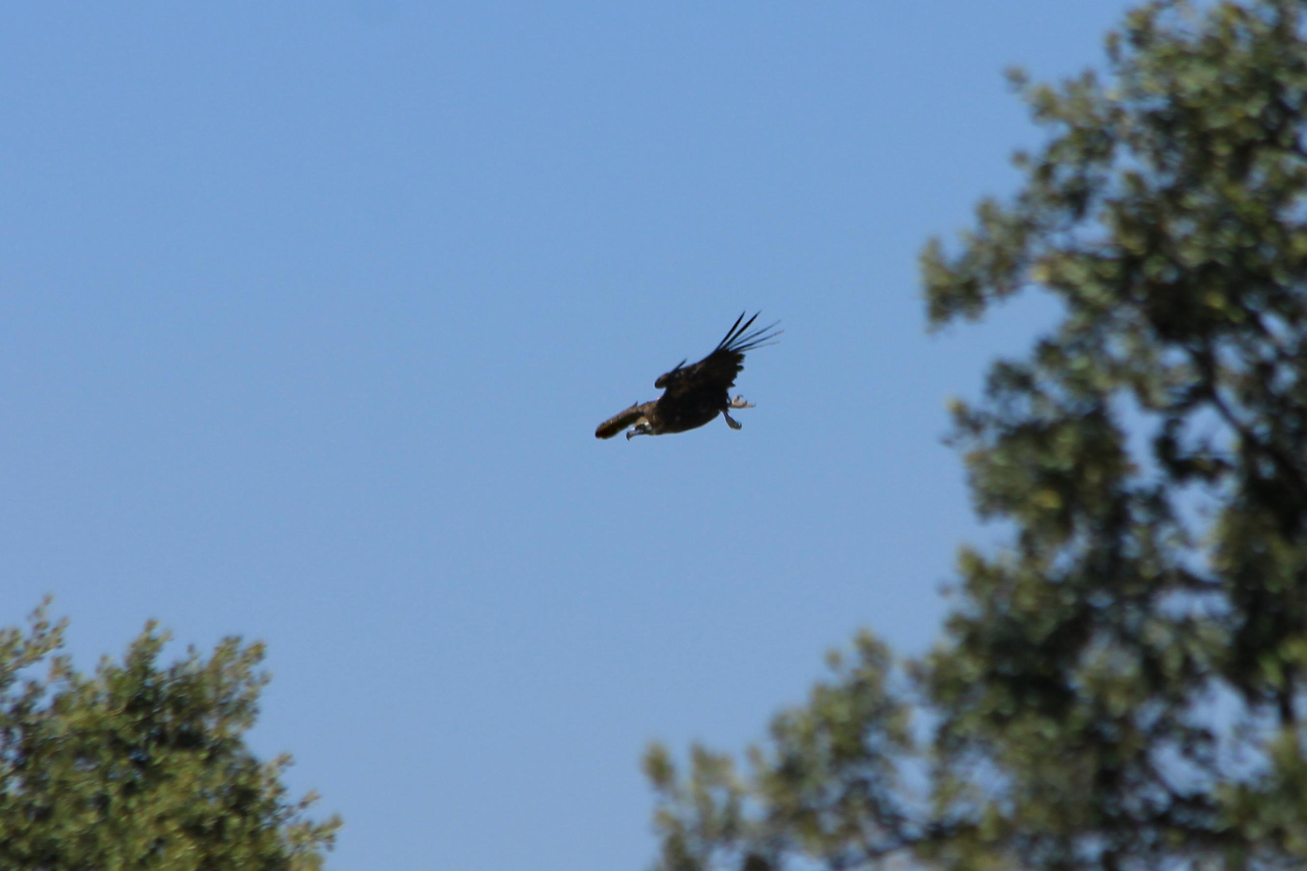 Buitre negro aterrizando