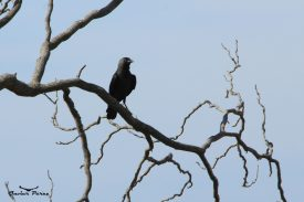 Grajilla sobre árbol seco