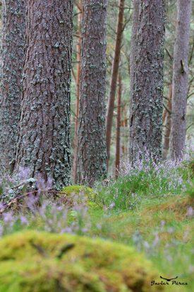 Bosque escocés