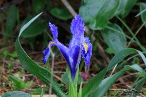 Iris planifolia Azul