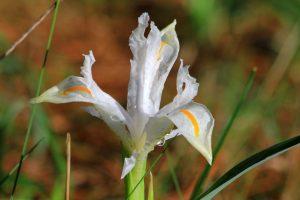 Iris planifolia albino