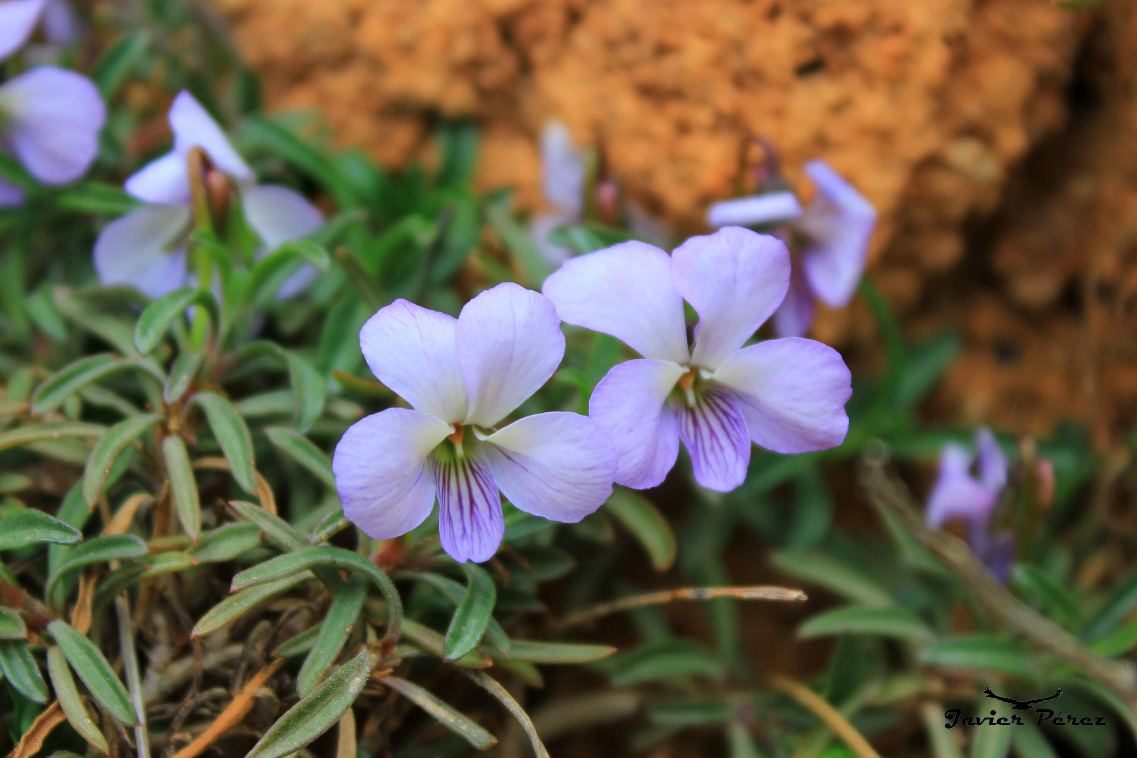 Flora en Calblanque
