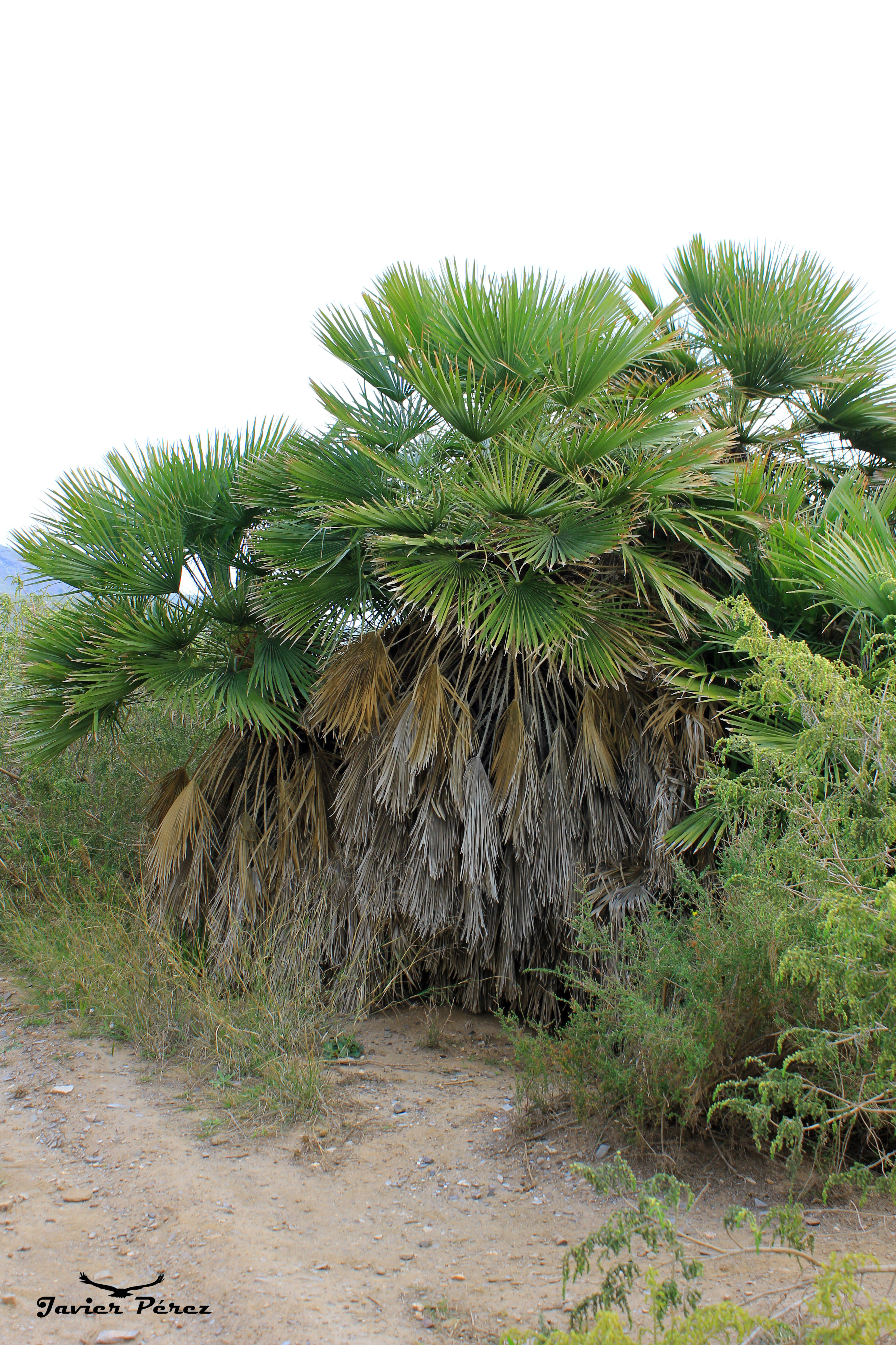 Palmitos en Calblanque