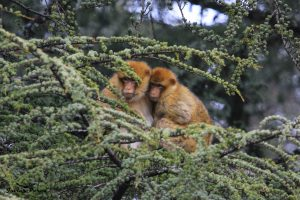 Macaco de Berbería Macaca silvanus