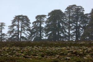 Bosques de cedros