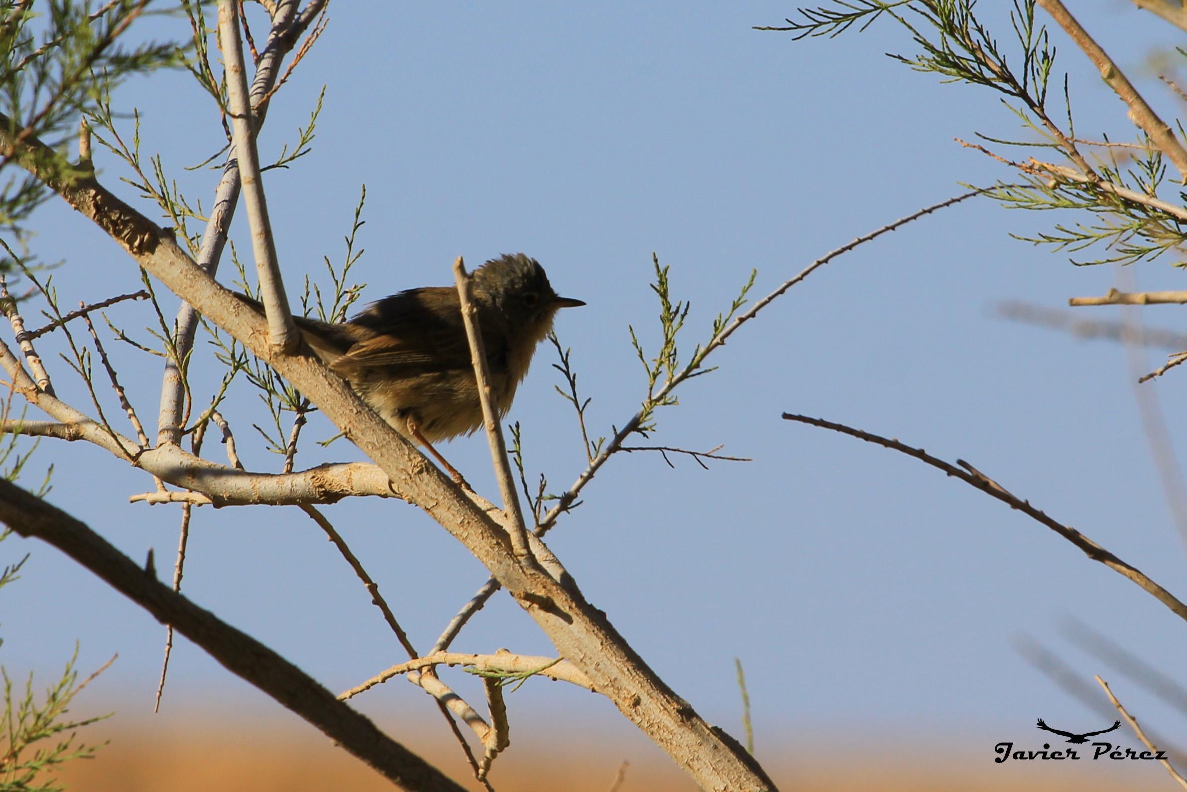 Curruca de Tristán (Sylvia deserticola)
