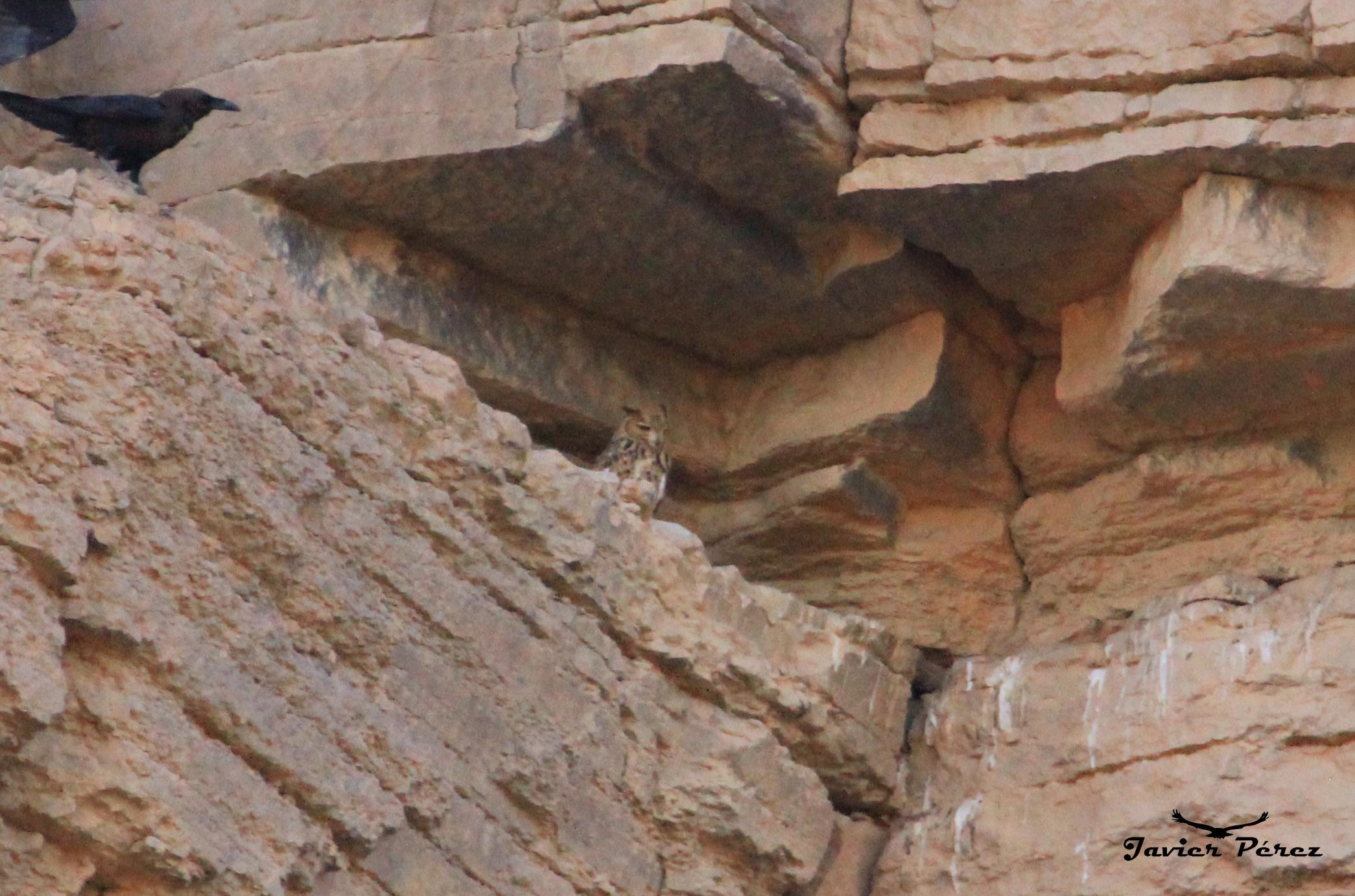 Búho del Desierto