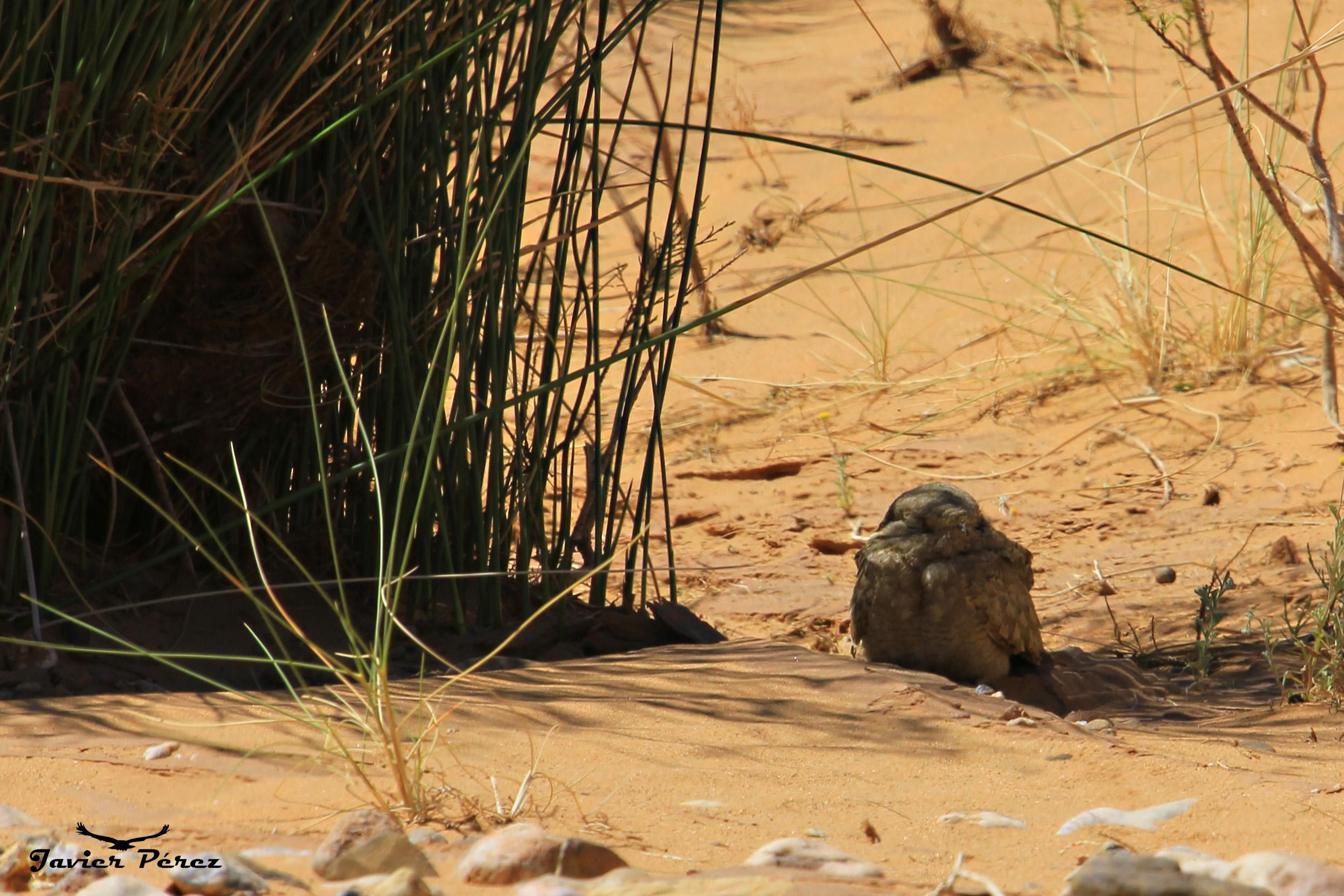 Chotacabras egipcio (Caprimulgus aegyptius)