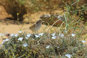 Curruca sahariana (Sylvia deserti)