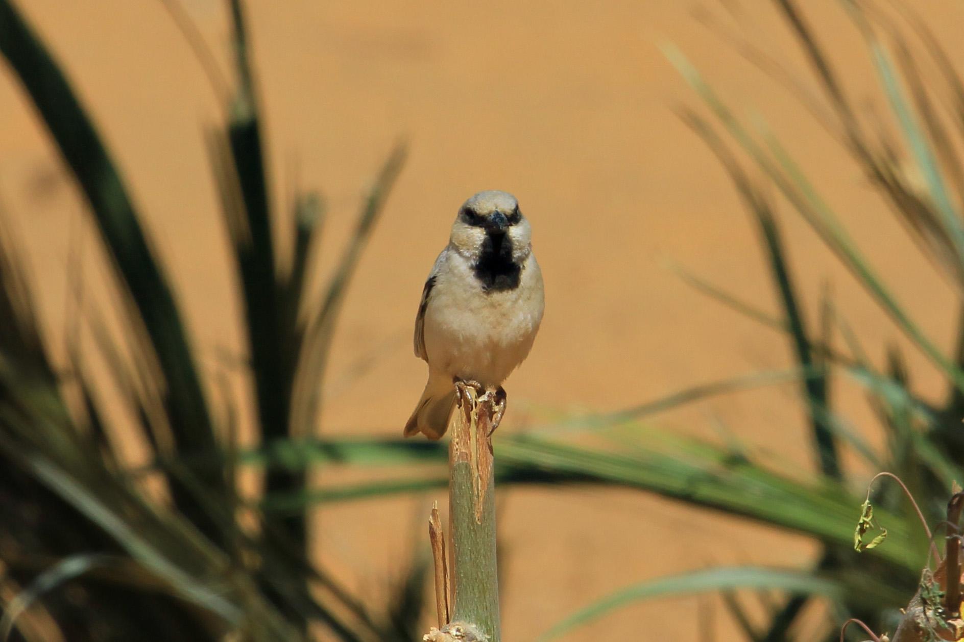 Gorrión sahariano (Passer simplex)