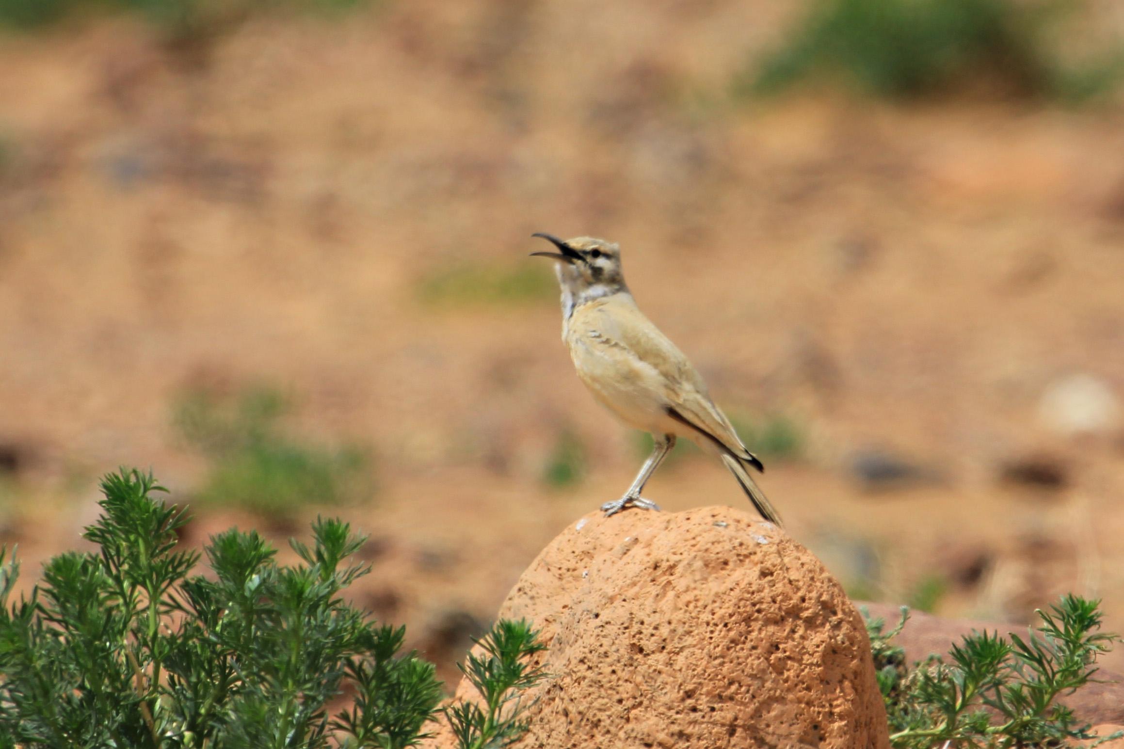 Corredor sahariano cantando