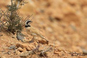 Alondra cornuda sahariana
