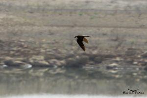 Halcón tagarote (Falco pelegrinoides)