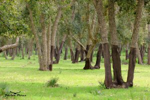 Bosque de la Mamora