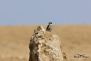 Collalba gris (Oenanthe oenanthe)