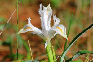 Iris planifolia blanca