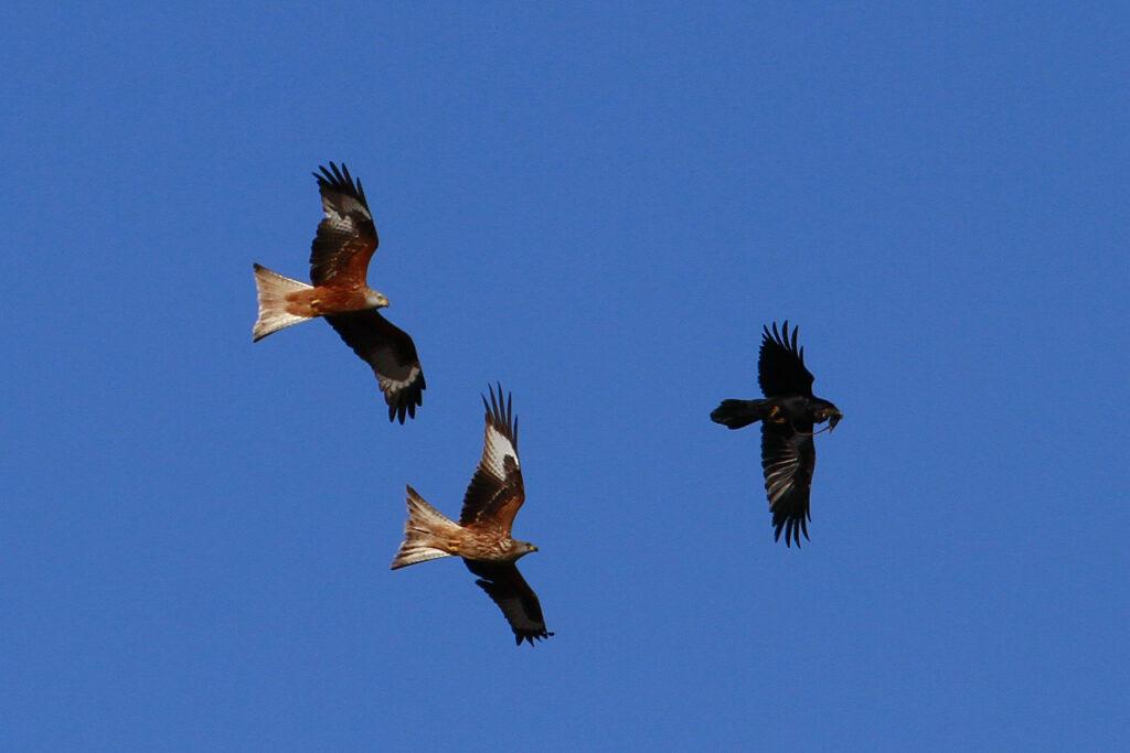 Milanos reales persiguiendo al cuervo