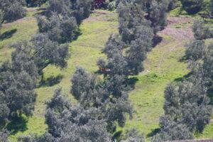Milano real sobre el olivar ecológico